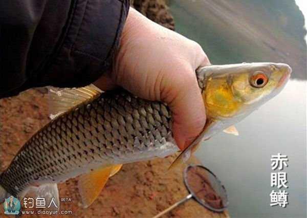 鱼类图片大全 看图识别淡水鱼种类大全